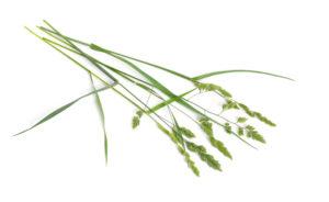 grassy weed